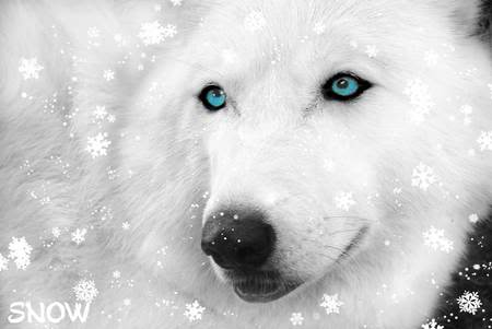 White wolf wallpaper with blue eyes
