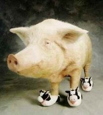 pig with cow shoes