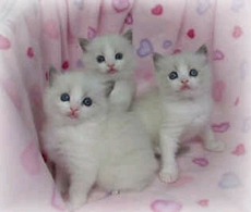 cute white kittens